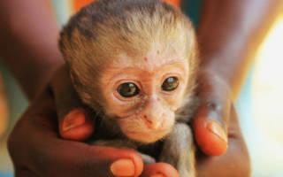 Сонник обезьяна маленькая на руках