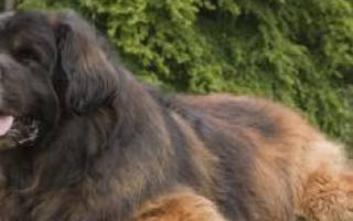 Видеть во сне огромную собаку сонник