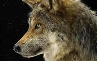 Волк во сне к чему снится сонник