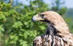 Видеть во сне орла большого сонник