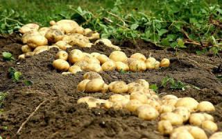 Видеть во сне картофель сонник