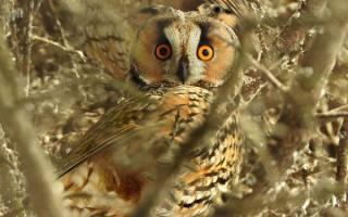 К чему снится большая сова сонник