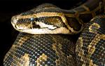 К чему снится толстая змея сонник