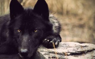 Видеть во сне черного волка сонник