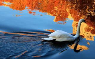 Видеть лебедей во сне сонник