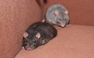 К чему снится живая крыса сонник