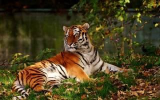 Если снится тигр что это значит сонник