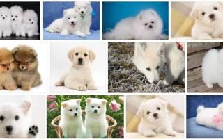 К чему снится белый щенок сонник