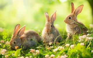 К чему снится кролик живой сонник