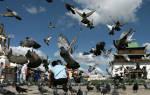 Видеть во сне много голубей сонник