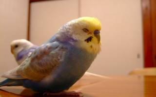 К чему снится попугай волнистый в руках сонник
