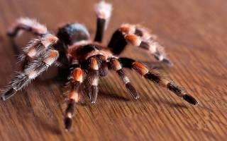 К чему снится большой тарантул сонник