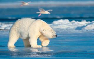 К чему снится белый медведь который нападает сонник