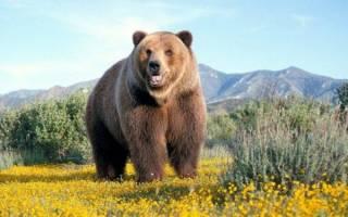 К чему снится медведь девушке незамужней сонник