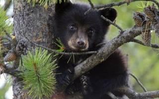 К чему снится медвежонок женщине незамужней сонник