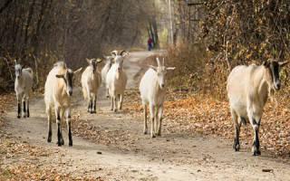 К чему снится белый козел сонник