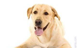 К чему снится красивая собака сонник