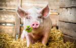 Видеть во сне свинью большую сонник