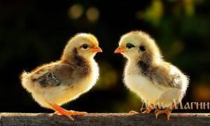 Сонник цыплята
