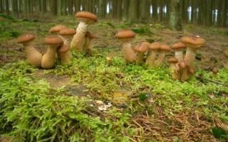 К чему снится много грибов собирать сонник