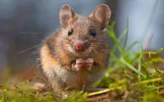 Сонник к чему снятся мыши