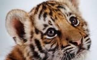 Сонник тигренок на руках