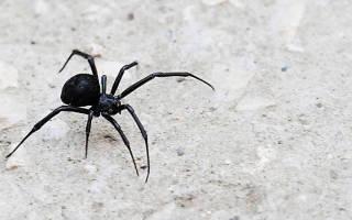 К чему снится огромный черный паук сонник