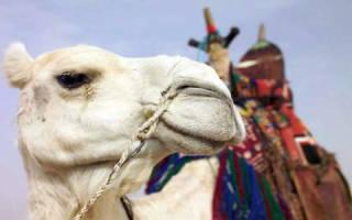 К чему снится верблюд во сне сонник