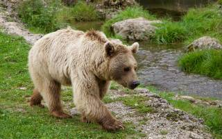 К чему снится медведь женщине замужней беременной сонник