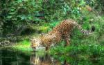 К чему снится леопард женщине сонник
