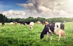 Видеть во сне много коров сонник