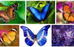 Видеть во сне много бабочек сонник