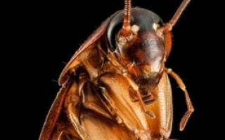 К чему снятся тараканы живые сонник