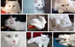 К чему снится белый кот сонник