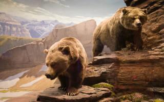 Сонник большой медведь