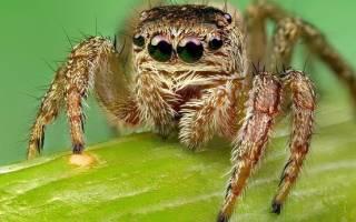 К чему снится ядовитый паук сонник