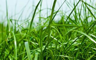 Сонник есть траву