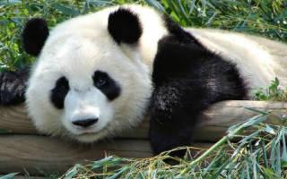 К чему снится панда девушке сонник