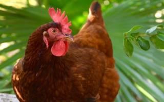 К чему снится курица живая в руках сонник