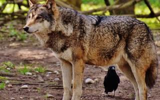 Волк во сне сонник