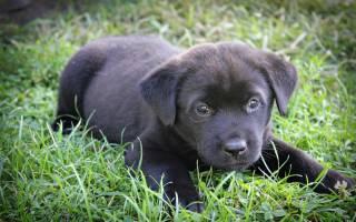 К чему снится маленькая черная собачка сонник