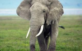 К чему снится слон во сне сонник