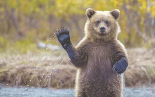 Сонник медведи много