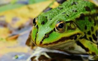 Видеть во сне жабу большую сонник