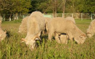 Видеть во сне овец сонник