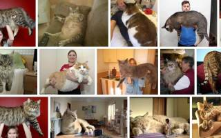 Видеть во сне кота большого сонник