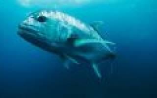 Сонник большая рыба в чистой воде