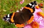 Сонник бабочка большая