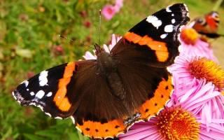 К чему снится бабочка большая красивая сонник