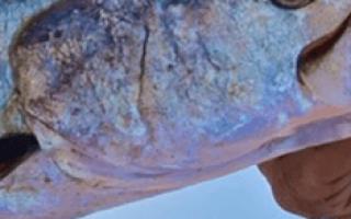 Сонник ловить большую рыбу